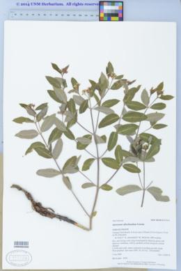 Apocynum x floribundum image
