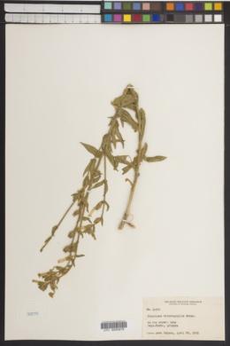 Nicotiana obtusifolia image