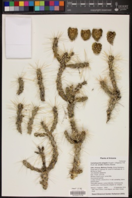 Cylindropuntia whipplei image
