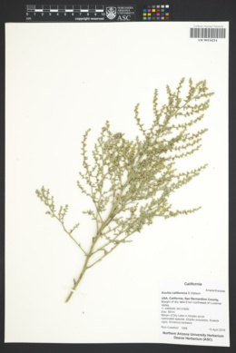 Image of Bassia californica