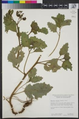 Image of Phacelia viscida