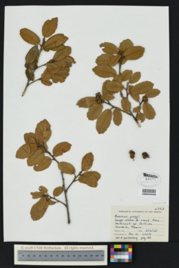 Quercus greggii image