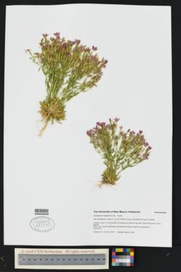 Centaurium maryannum image