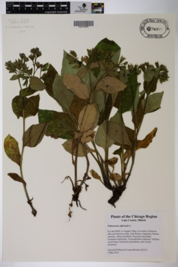 Pulmonaria officinalis image