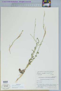 Pennellia micrantha image