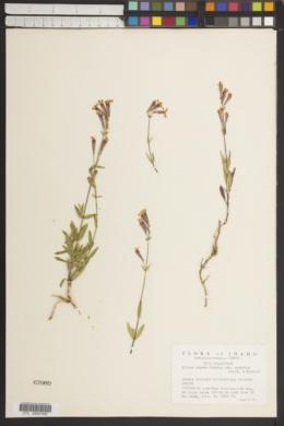 Silene repens subsp. australis image