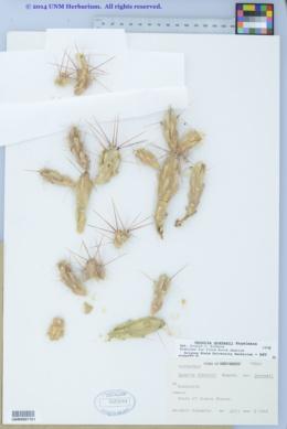 Image of Corynopuntia grahamii