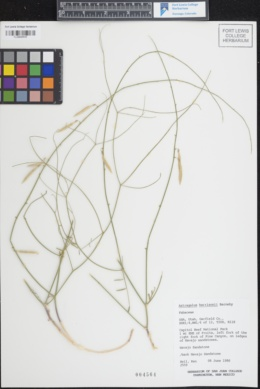 Image of Astragalus harrisonii