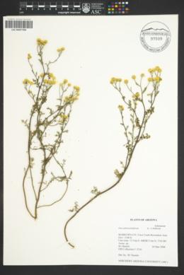 Oncosiphon pilulifer image