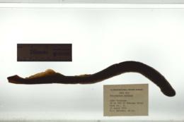 Petromyzon marinus image