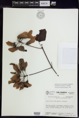 Stigmaphyllon glabrum image