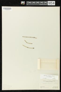 Equisetum variegatum var. variegatum image
