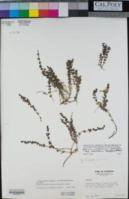 Image of Galium cliftonsmithii