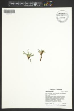 Image of Swertia tubulosa