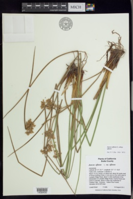 Juncus effusus subsp. effusus image
