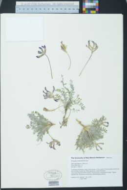 Image of Astragalus waterfallii
