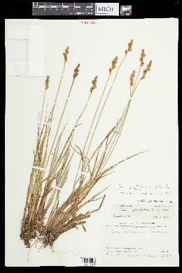 Image of Carex arctiformis