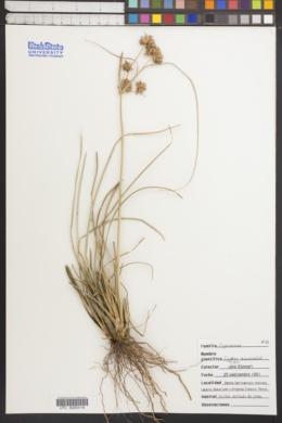 Cyperus elegans image