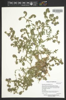 Phacelia tanacetifolia image