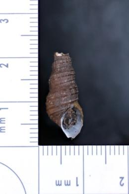 Image of Juga acutifilosa