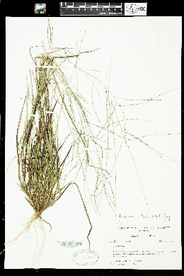 Digitaria filiformis var. villosa image