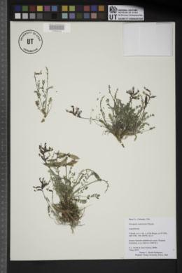 Image of Astragalus naturitensis
