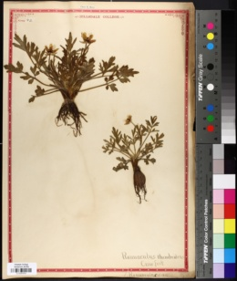 Image of Ranunculus rhomboideus