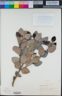 Carissa macrocarpa image