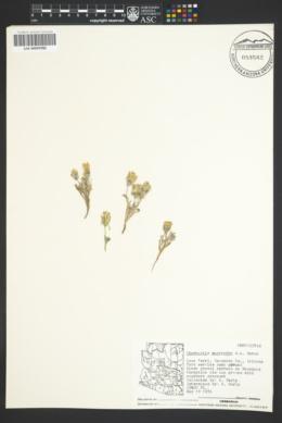 Chaenactis macrantha image