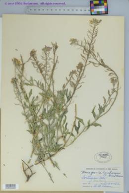 Nerisyrenia camporum image