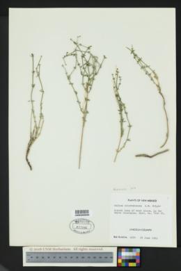 Galium microphyllum image