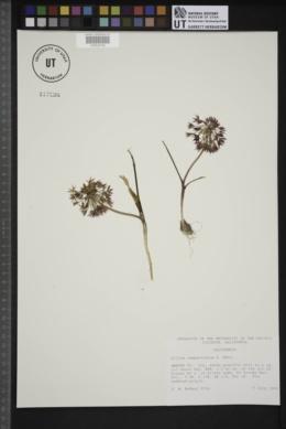 Allium campanulatum image