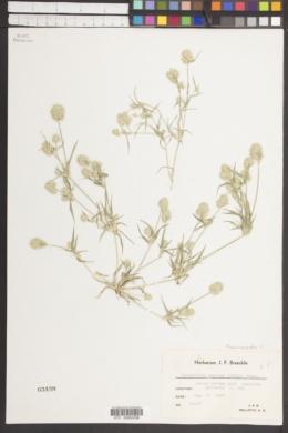 Neeragrostis reptans image