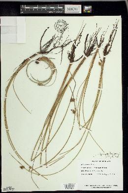 Schoenoplectus torreyi image