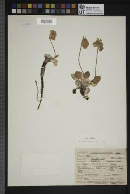 Eriogonum lobbii image