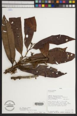 Image of Iryanthera lancifolia