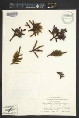 Arceuthobium verticilliflorum image