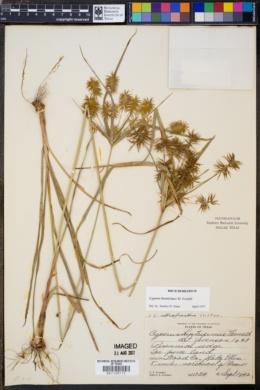 Image of Cyperus hystricinus