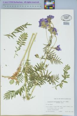 Polemonium foliosissimum var. molle image