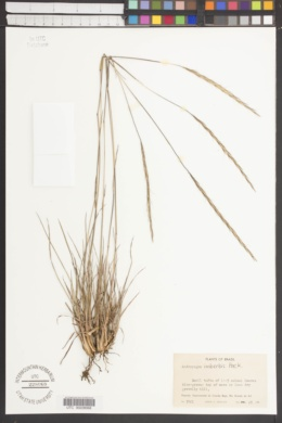 Image of Andropogon imberbis