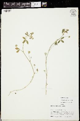 Image of Trifolium buckwestiorum