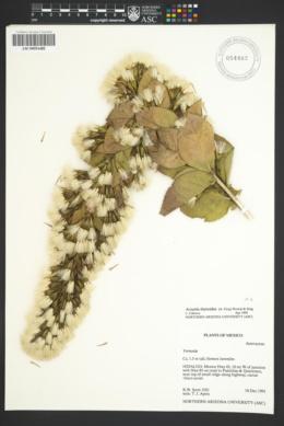 Image of Acourtia thyrsoidea