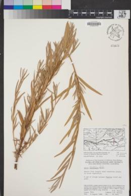 Image of Salix exigua