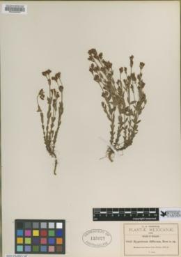 Hypericum diffusum image
