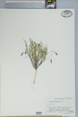 Astragalus brandegei image