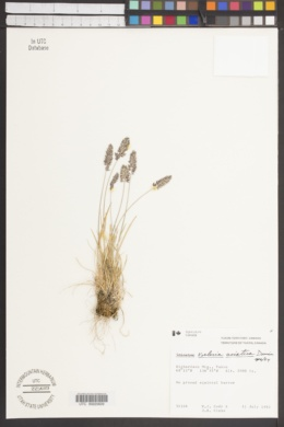 Koeleria asiatica image