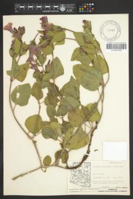 Mirabilis multiflora image