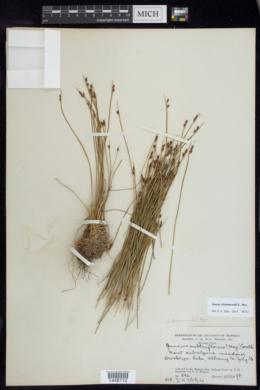 Juncus drummondii image