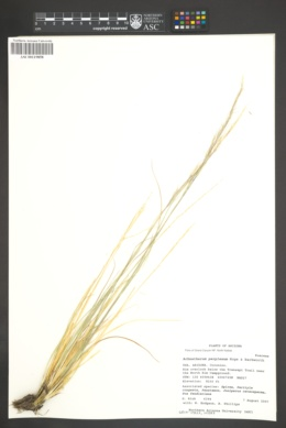 Achnatherum perplexum image