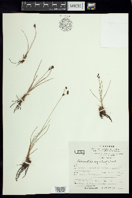 Image of Fimbristylis argillicola